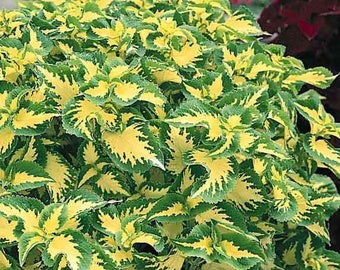 Coleus Wizard Jade 20 Seeds - Ivory leaves edged in vibrant green