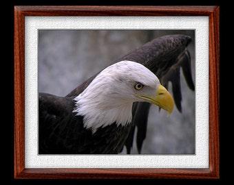 Bald Eagle Print - 8x10 or 11x14 Bald Eagle Photograph - Bird Photograph - Bird Print - Eagle Art - Nature Art - (P1)