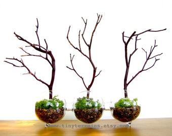 Modern Globe Manzanita Forest  Moss Terrarium