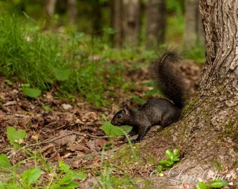 Black Squirrel - wildlife, squirrel, new england, New Hampshire, nature photography, wildlife photography, animal photo, fine art print