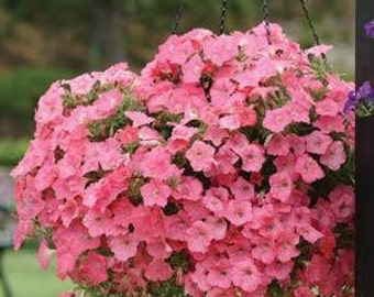 Petunia Seeds Coral Salmon Flower, Excellent in Pots, Container Gardening, 20 Seeds