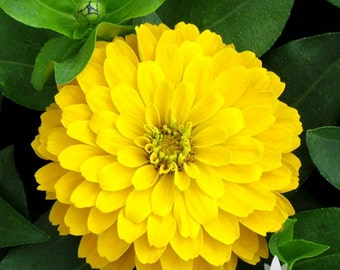 Zinnia, Canary Bird Heirloom Seeds - Non-GMO, Open Pollinated, Untreated, Flower Seeds