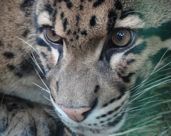 Clouded Leopard Closeup