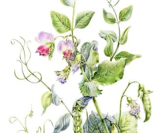 Watercolor botanical illustration: Green Pea.Art print.