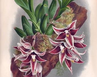 Paphinia lindeniana Victorian botanical illustration reproduction