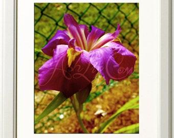 Aged Iris Photograph 8x10 Print