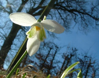 Snowdrop From Below Print