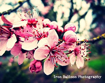 PINK CHERRY BLOSSOMS Gorgeous Up close Photo