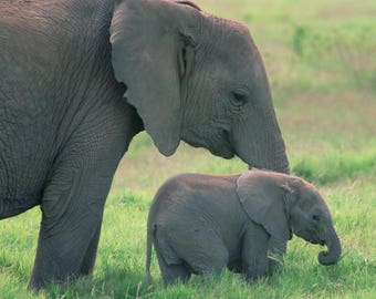 Elephant with Baby 8 x 10 / 8x10 GLOSSY Photo Picture