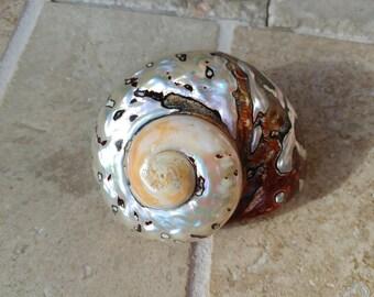 Turbo Smarticus - Polished Seashell - Pearlized Black and Orange Turbo - African Smarticus Seashell 220