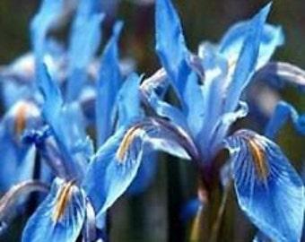 Dark Blue Iris Missouriensis Flower Seeds / Perennial   30+