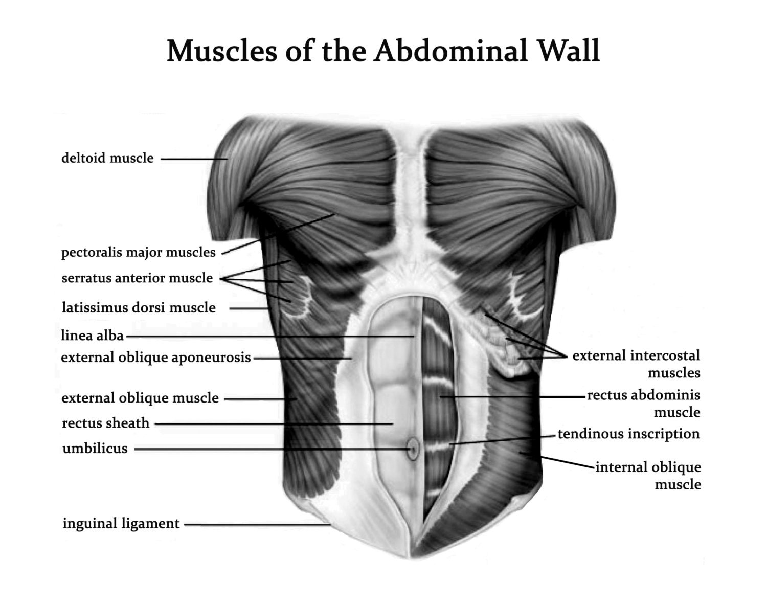 Muscles of the Abdominal Wall- Art Print - Poster - Medical ...