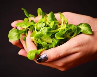 Slovenian corn salad - 100 seeds - Valerianella locusta - cornsalad - mache -  Lamb's Lettuce - Field Lettuce