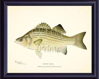 Denton Fish Print WHITE BASS Sand Bass 8x10 Art Print Nautical Plate Marine Life Antique Vintage Freshwater Fishing Wall Art Decor OL0710