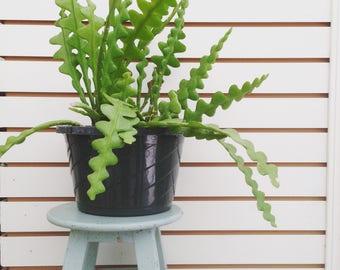 Ric Rac Cactus Cutting (1)