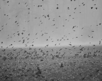 In Flight, Landscape Photography, Nature, Blackbirds, B&W Fine Art Photography
