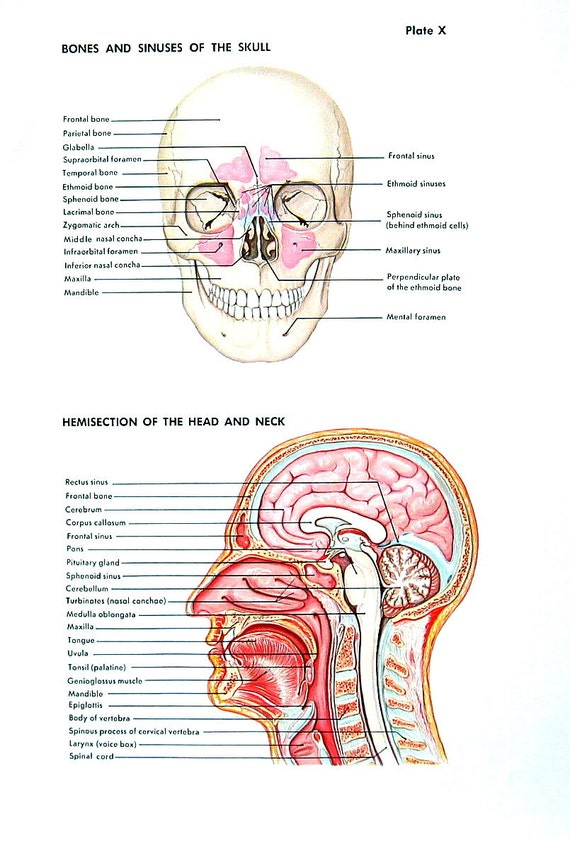 Human Anatomy Print The Skull Head And Neck The Ear The