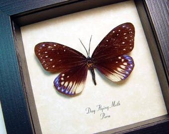 Real Rare Day Flying Moth Electric Blue Peruvian Framed Moth 8455