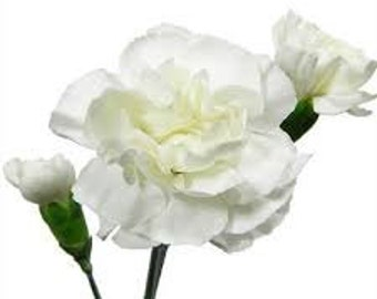 WHITE  CARNATION FLOWER seeds 5 fresh seeds ready to plant in the garden