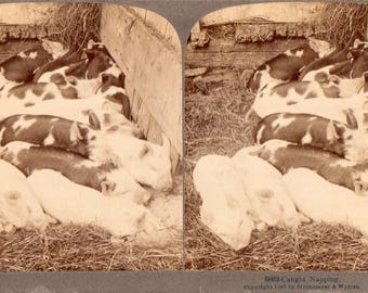 """1897 """"Caught Napping"""" Bunch of Pigs on a Farm Stereoview Photo"""