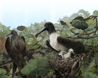 Frigate Bird Family