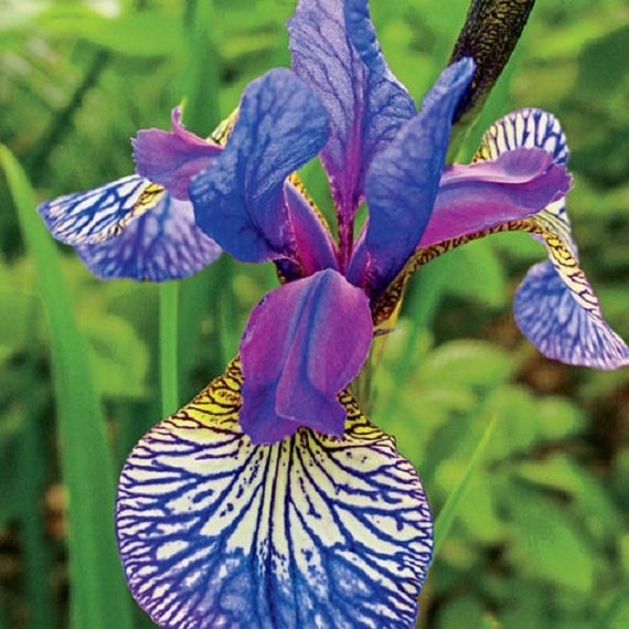 Shaker 39 S Prayer Siberian Iris 39 Plant Bloomearly And
