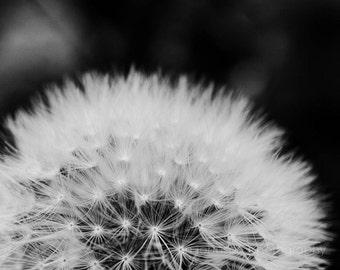 dandelion art, black and white photography, dandelion photograph, nature wall art, white home decor, black home decor , feminine