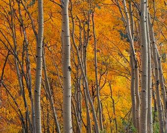 Wall Art, Photo, Canvas Art, Metallic Paper, Photograph, Aspen Trees in Autumn Color, Aspen, Trees, Autumn, Changing Leaves, Aspen Trees,