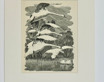 Swans in flight illustration by C.F.Tunnicliffe 1942, bird watching gift