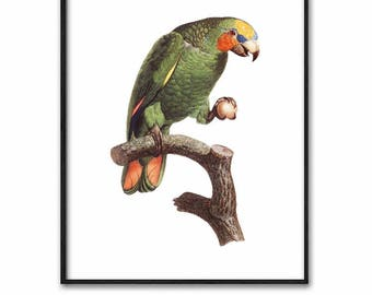 Bird Art, Parrot Print, Digital Download Vintage (Printable Wall Art, Green Bedroom Decor, Natural History) 18th Century Artist