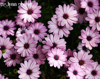 Purple Daisies Photograph Canvas Wrapped Wall Art