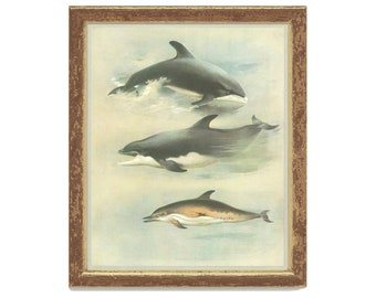 White-beaked Dolphin, Bottle-nosed Dolphin, Thorburn Painting 1979/50, Natural History, Woodland, Frameable Vintage Print