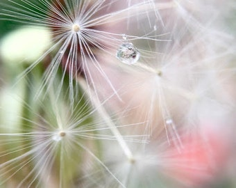Dandelion With Water Droplets Photo Print