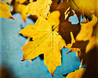 Autumn Nature Photography - Yellow Gold - 8 x 8 fine art print - golden leaf turquoise sky rustic home decor