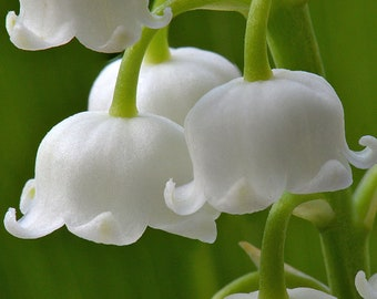 Lily of the Valley - Sweetly Fragrant - 50 pips