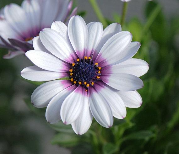 Daisy seeds white cape daisy purple center flower garden 25 daisy seeds white cape daisy purple center flower garden 25 seeds mightylinksfo Gallery