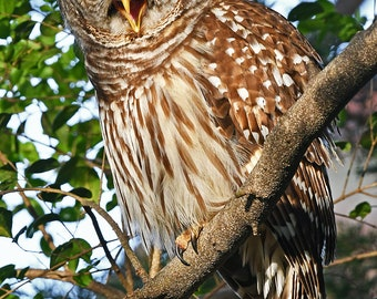 Sleepy Owl, Charlotte, North Carolina: archival print signed and matted