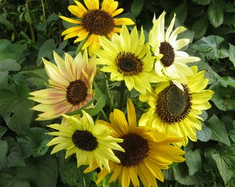 Sunflower Seeds – Multi-Branched Bouquet Varieties – Mixed Colors