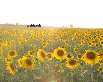 Sunflower field and sun