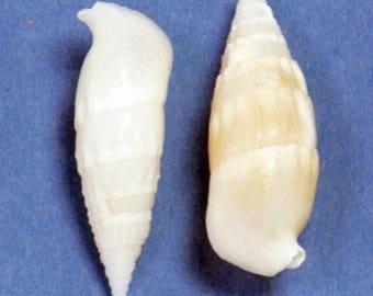 White Cerithium Seashells (Bag)  (EA)