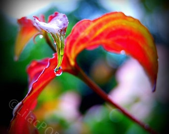 Suspended Drop Nature Photograph on Metallic Paper