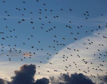 Photography 'Flight of the starlings' art print, wall art, home decor.