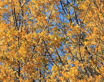 Fall Foliage Print, Fall Trees Print, Fall Print, Autumn Print, Yellow Leaves Print, Yellow Leaves Photo, Autumn Trees Print, Yellow Tree