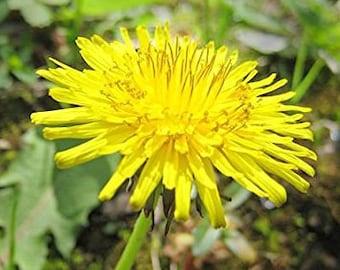 DANDELION SEEDS - 100+ Seeds - Wild Collected - Organic - NonGMO - Edible - Medicinal