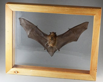 Taxidermy Bat in Double Glass Wood Frame