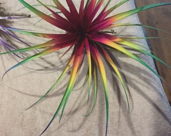 "Tillandsia Air Plant Bursting with Color! 15"" Wide Fairy Garden Fantasy"