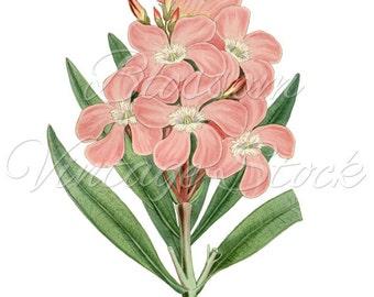 Flower Botanical Illustration, Pink Flower Clipart, Vintage Pink Flower Digital Image for Printing, Artwork - INSTANT DOWNLOAD - 1146