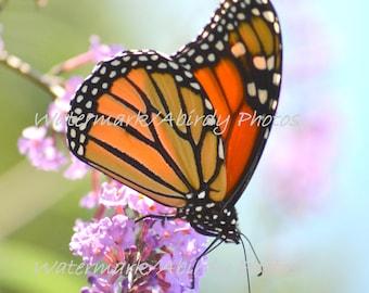 Monarch Butterfly Soft Morning Light 8x10 #0877_90_2015