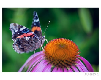 Nature Photography PRINT, Butterfly on a Coneflower, Wall Art