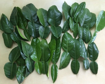 25 Double Fresh Kaffir Lime Leaves, Thai Gourmet Herbs Citrus Hyst, Hand Picked When Ordered